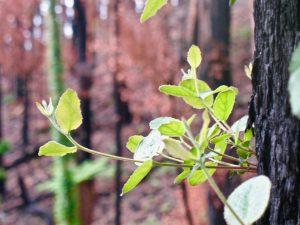 green bud on burnt tree in victoria bush fires
