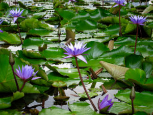 water lillies singapore