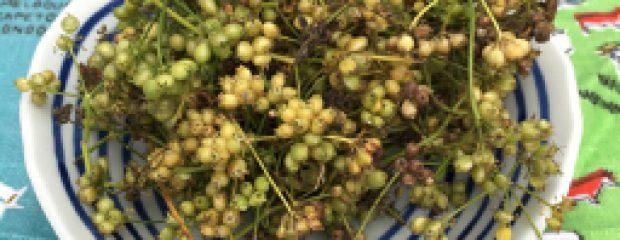 fresh coriander seeds Sydney