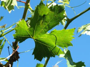 grape leaf against blue sky