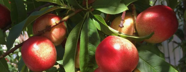 Red nectarines on tree copyright gill stannard naturopath