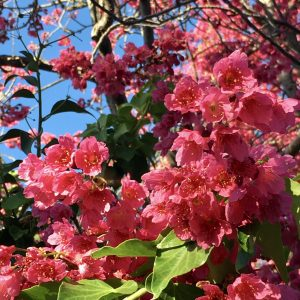 multiple pink flowers on a tree with green leaves against a blue background