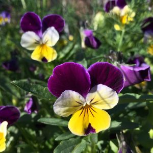 pansy flowers velvet textrue colours deep purple whate and yellow viola