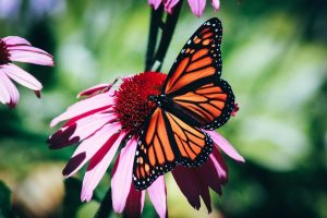 orange butterfly on pink coneflower echinacea