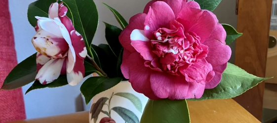 pink and white camelia in a antique milk jug