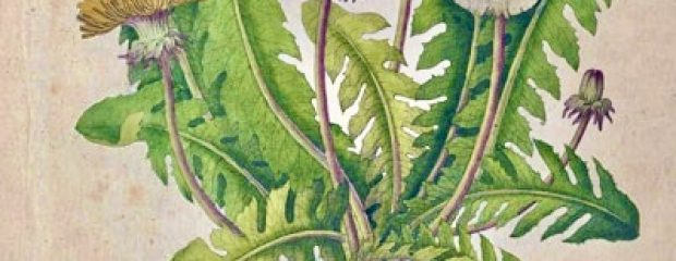 old botanical drawing of dandelion flower serated leaves and root