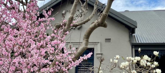 Tree with pink cherry blossoms on left smaller white magnolia tree on right in front of a grey federation style house in Inner West Sydney